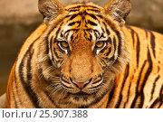 Купить «Bengal tiger (Panthera tigris), Bangkok zoo, Thailand», фото № 25907388, снято 23 августа 2019 г. (c) BE&W Photo / Фотобанк Лори
