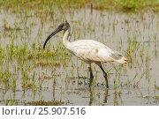 Купить «A Black Headed Ibis, or Oriental White Ibis, (Threskiornis melanocephalus ), Keoladeo National Park, India», фото № 25907516, снято 5 июня 2020 г. (c) BE&W Photo / Фотобанк Лори