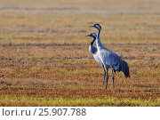 Купить «The common cranes (Grus grus), also known as the Eurasian cranes, Biebrzanski National Park, Poland», фото № 25907788, снято 25 апреля 2019 г. (c) BE&W Photo / Фотобанк Лори