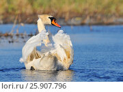 Купить «The mute swan (Cygnus olor) is a species of swan and a member of the waterfowl family Anatidae», фото № 25907796, снято 19 апреля 2019 г. (c) BE&W Photo / Фотобанк Лори