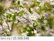 Купить «Цветущая вишня», фото № 25908048, снято 30 апреля 2016 г. (c) Manapova Ekaterina / Фотобанк Лори