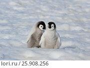 Купить «Emperor Penguin chicks in Antarctica», фото № 25908256, снято 1 ноября 2010 г. (c) Vladimir / Фотобанк Лори