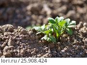 Young potato plant growing on the soil. Potato bush in the garden. Healthy young potato plant in organic garden. Стоковое фото, фотограф Irina Shisterova / Фотобанк Лори