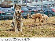 Купить «Mongrel dog looking at camera», фото № 25909476, снято 4 апреля 2017 г. (c) Георгий Дзюра / Фотобанк Лори