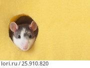 Купить «Симпатичная мышь выглядывает из круглого отверстия желтой фетровой ткани.», фото № 25910820, снято 17 сентября 2019 г. (c) Olesya Tseytlin / Фотобанк Лори