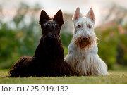 Купить «Scottish terrier», фото № 25919132, снято 18 августа 2016 г. (c) easy Fotostock / Фотобанк Лори