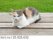 Купить «Трехцветная кошка сидит на деревянном настиле», эксклюзивное фото № 25925632, снято 3 августа 2016 г. (c) Елена Коромыслова / Фотобанк Лори