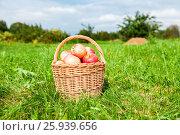 Купить «Плетеная корзина из лозы со спелыми свежими яблоками стоит на траве в саду», фото № 25939656, снято 26 сентября 2018 г. (c) FotograFF / Фотобанк Лори