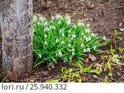 Купить «Подснежник, или Галантус ( Galánthus) весной в лесу», фото № 25940332, снято 6 апреля 2017 г. (c) Алёшина Оксана / Фотобанк Лори