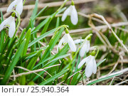 Купить «Цветущий подснежник, или Галантус ( Galánthus) весной», фото № 25940364, снято 6 апреля 2017 г. (c) Алёшина Оксана / Фотобанк Лори