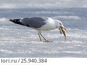 Купить «Хохотунья. Yellow-legged Gull (Larus cachinnans). The species of bird is identificated rough.», фото № 25940384, снято 26 марта 2017 г. (c) Василий Вишневский / Фотобанк Лори