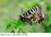 Close up of butterfly on the currant's leaves. Стоковое фото, фотограф Марина Горянцева / Фотобанк Лори