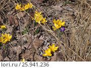Купить «Ярко-желтые крокусы среди сухой прошлогодней травы», фото № 25941236, снято 9 апреля 2017 г. (c) Илюхина Наталья / Фотобанк Лори