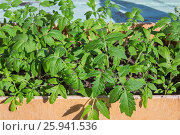 Green shoots of tomatoes in a wooden box. Стоковое фото, фотограф MARINA EVDOKIMOVA / Фотобанк Лори