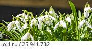 Купить «Подснежник, или Галантус ( Galánthus) весной», фото № 25941732, снято 6 апреля 2017 г. (c) Алёшина Оксана / Фотобанк Лори