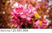 Цветение дикой яблони ранетки. Стоковое фото, фотограф Игорь Шалагин / Фотобанк Лори