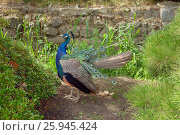 Купить «Peacock is on the ground», фото № 25945424, снято 4 августа 2012 г. (c) Акоп Васильян / Фотобанк Лори