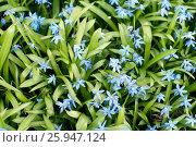 Купить «Первоцветы, голубые весенние цветы на поляне ранней весной. Сцилла двулистная Таурика или пролеска (Scilla bifolia ). Вид сверху вниз», эксклюзивное фото № 25947124, снято 8 апреля 2017 г. (c) Svet / Фотобанк Лори