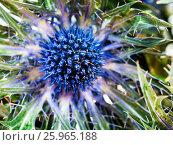 Купить «Blue Thistle (eryngium) flower close up», фото № 25965188, снято 23 апреля 2019 г. (c) easy Fotostock / Фотобанк Лори