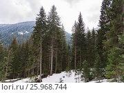 Купить «Coniferous forest in the mountains», фото № 25968744, снято 15 марта 2017 г. (c) Дмитрий Брусков / Фотобанк Лори