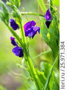 Купить «LATHYRUS ODORATUS 'LORD NELSON'», фото № 25971384, снято 2 июня 2014 г. (c) age Fotostock / Фотобанк Лори