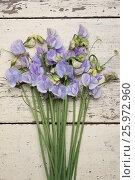 Купить «LATHYRUS ODORATUS 'WINTER SUNSHINE BLUE'», фото № 25972960, снято 23 апреля 2018 г. (c) age Fotostock / Фотобанк Лори