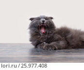 Купить «The cat yawns widely while lying on the floor», фото № 25977408, снято 25 марта 2019 г. (c) Ирина Козорог / Фотобанк Лори
