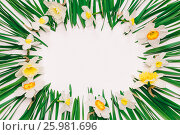 Купить «Spring floral frame of flowers and green leaves of Narcissus on white background with space for text. tinted photo», фото № 25981696, снято 18 октября 2019 г. (c) Андрей С / Фотобанк Лори