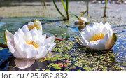 White Water Lilies In a Pond. Стоковое фото, фотограф Светлана Сухорукова / Фотобанк Лори