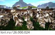 Купить «Fish heads drying on racks Norway», видеоролик № 26000024, снято 27 марта 2017 г. (c) Андрей Армягов / Фотобанк Лори