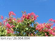 Купить «Lagerstroemia Flower or Crape flower», фото № 26004004, снято 22 сентября 2016 г. (c) Elena Odareeva / Фотобанк Лори