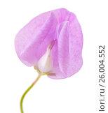 Купить «бледно лиловые цветы душистого горошка изолировано на белом фоне», фото № 26004552, снято 16 апреля 2017 г. (c) Tamara Kulikova / Фотобанк Лори