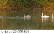 Купить «Family of white swans swims along autumn lake», видеоролик № 26008936, снято 6 апреля 2017 г. (c) Михаил Коханчиков / Фотобанк Лори