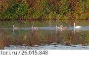 Купить «Family of white swans swims along autumn lake», видеоролик № 26015848, снято 6 апреля 2017 г. (c) Михаил Коханчиков / Фотобанк Лори