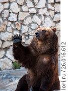 Московский зоопарк. Бурый медведь. Стоковое фото, фотограф Сергей Спритнюк / Фотобанк Лори