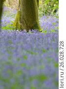 Купить «HYACINTHOIDES NON-SCRIPTA IN A WOODLAND.», фото № 26028728, снято 11 мая 2013 г. (c) age Fotostock / Фотобанк Лори