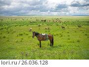 Купить «Конь пастуха с седлом и сбруей возле стада», фото № 26036128, снято 3 августа 2015 г. (c) Светлана Попова / Фотобанк Лори