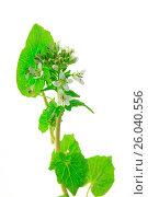 Купить «Wasabi (Eutrema japonicum)», фото № 26040556, снято 23 января 2020 г. (c) easy Fotostock / Фотобанк Лори