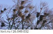 Купить «Rook, a flock of black migratory birds for nesting», видеоролик № 26049032, снято 24 июня 2019 г. (c) Константин Мерцалов / Фотобанк Лори