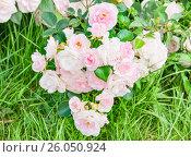 Купить «Розовая плетистая роза», фото № 26050924, снято 18 июня 2015 г. (c) Алёшина Оксана / Фотобанк Лори