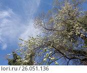 Купить «Весенние деревья на фоне голубого неба», фото № 26051136, снято 6 апреля 2017 г. (c) DiS / Фотобанк Лори