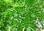 Орех маньчжурский, или Орех думбейский (Juglans mandshurica), фото № 26058304, снято 1 июля 2014 г. (c) Алёшина Оксана / Фотобанк Лори