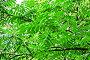 Листва ореха маньчжурского, или Ореха думбейского (Juglans mandshurica), фото № 26058452, снято 1 июля 2014 г. (c) Алёшина Оксана / Фотобанк Лори