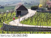 Купить «Люди занимаются скандинавской ходьбой среди виноградников долины Вахау. Нижняя Австрия», фото № 26060840, снято 1 апреля 2017 г. (c) Bala-Kate / Фотобанк Лори