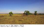 Купить «giraffes eating tree leaves in savanna at africa», видеоролик № 26061732, снято 31 марта 2017 г. (c) Syda Productions / Фотобанк Лори