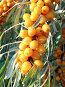 Плоды облепихи, фото № 26062484, снято 11 октября 2009 г. (c) Анатолий Заводсков / Фотобанк Лори