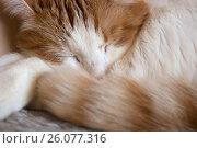 Купить «Спящий бело-рыжий кот крупным планом», фото № 26077316, снято 24 апреля 2017 г. (c) Терешко Сергей / Фотобанк Лори