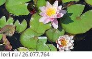Купить «White Nymphaeaceae, growing in quiet waters of pond», видеоролик № 26077764, снято 1 августа 2016 г. (c) Яков Филимонов / Фотобанк Лори