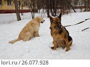 Купить «Золотистый ретривер и восточноевропейская овчарка сидят на снегу», фото № 26077928, снято 25 февраля 2016 г. (c) Цветков Виталий / Фотобанк Лори