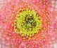 Раскрывшийся розовый цветок, крупный план, фото № 26086744, снято 25 апреля 2017 г. (c) Екатерина Овсянникова / Фотобанк Лори